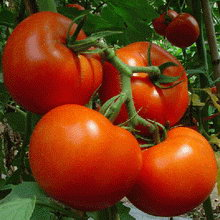 pomidor_01