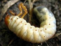 Личинка майского хруща