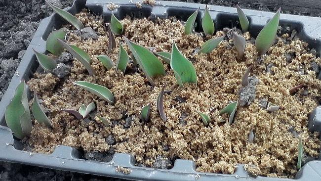 Маленькие тюльпаны