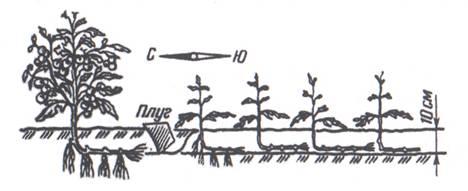 Рис. 1. Этот способ посадки помидоров подойдет для больших земельных массивов.