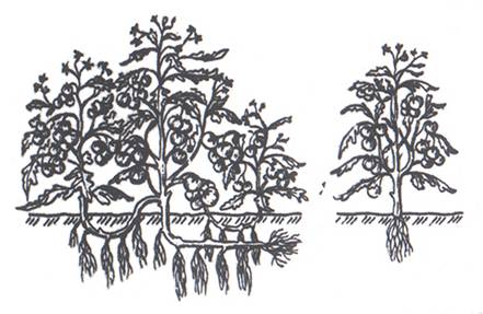 Рис. 2. Слева – растения с укорененными пасынками.  Справа – обычный способ посадки.