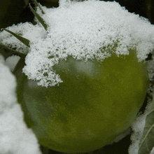 tomat_pod_snegom