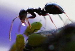 Садовый муравей и тля