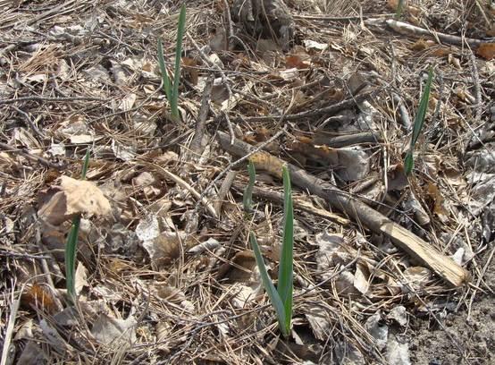 Рис.2. Весной чеснок хорошо прорастает через слой рапса и мульчи