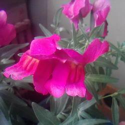"""Львиный зев """"Цветочные ливни розовый"""""""
