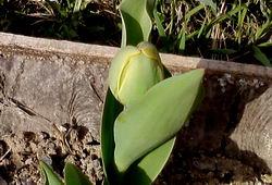 04_тюльпан