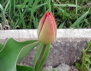 05_тюльпан