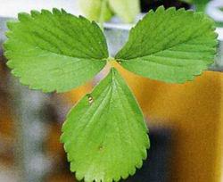 Бледные листья