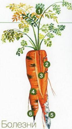 Морковь01