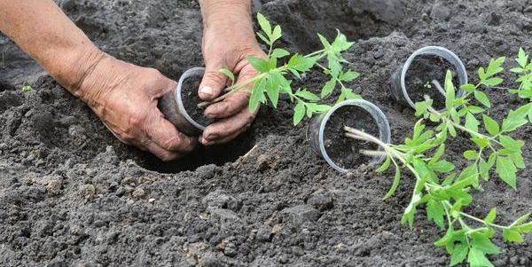 высаживать рассаду томатов