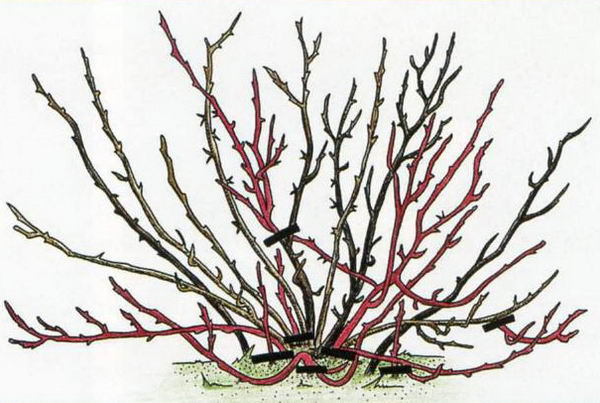 Схема обрезки куста крыжовника: удаляют все ветки старше 5 лет, особое внимание уделяя прореживанию куста.