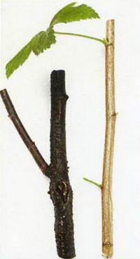 Старая и молодая ветви смородины
