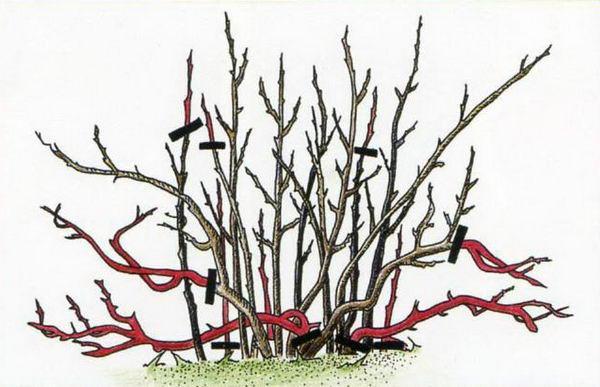Схема обрезки куста черной смородины: начиная с периода полного плодоношения удаляют все ветви старше 6 лет