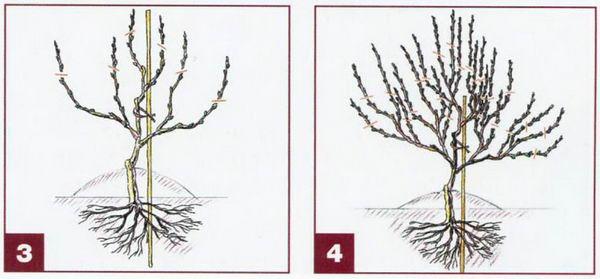 виноград_34