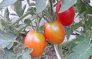 08_08_Red cherry