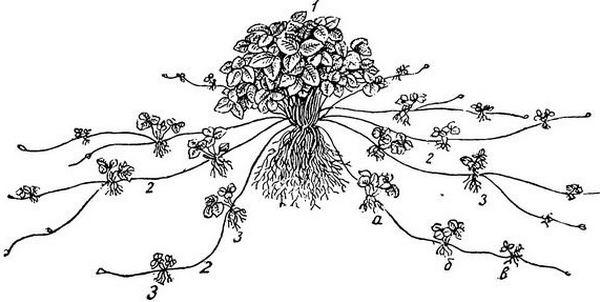 Рис. 1 Куст земляники с усами и розетками