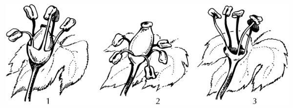 Типы цветков винограда: 1) обоеполый цветок, 2) функционально женский цветок, 3) мужской цветок.