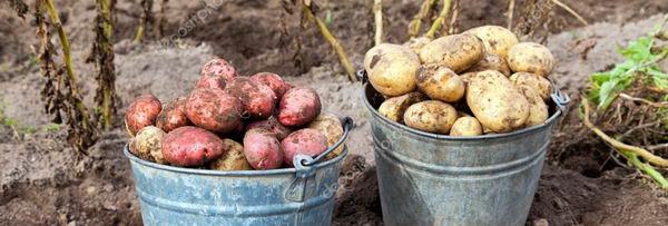 Картофель уборка урожая